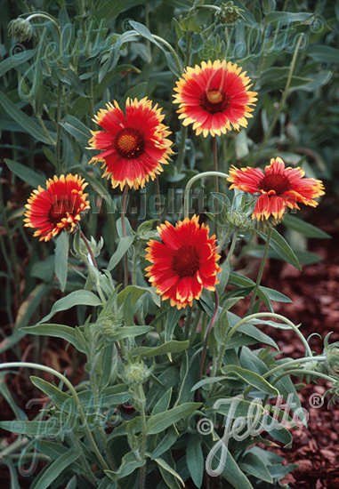 GAILLARDIA aristata  'Bremen' Portion(en)