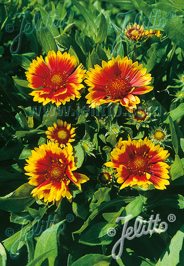 GAILLARDIA aristata  'Kobold' Portion(en)