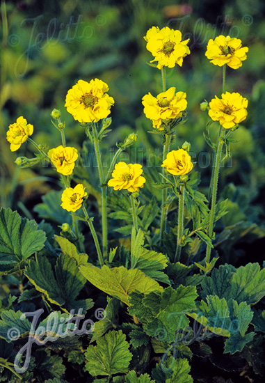 GEUM chiloense  'Goldball' Portion(en)