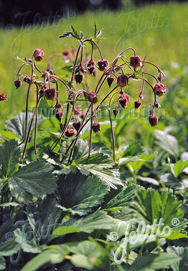 GEUM rivale   Portion(s)
