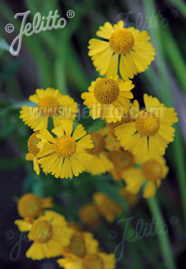 HELENIUM autumnale  wild form Portion(s)