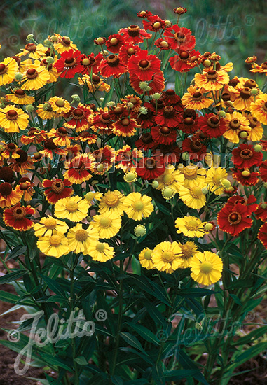 HELENIUM autumnale  'Rotgold-Hybr.' Portion(en)