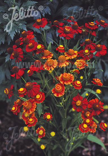 HELENIUM autumnale  'Helena Red Shades' Portion(s)