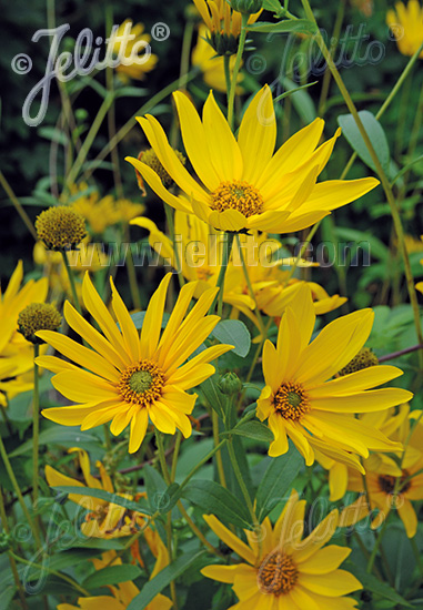 HELIANTHUS maximiliani   Portion(s)