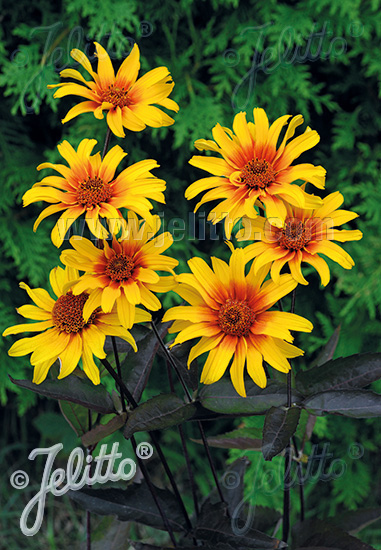HELIOPSIS helianthoides var. scabra  'Burning Hearts' Portion(en)