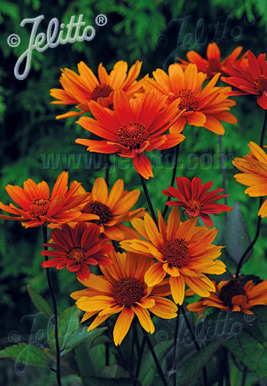 HELIOPSIS helianthoides var. scabra  'Bleeding Hearts' Portion(s)