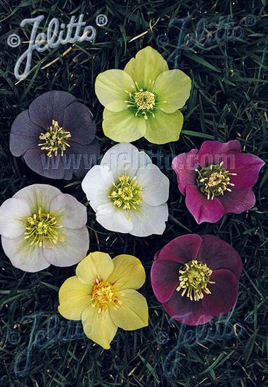 HELLEBORUS Orientalis-Hybr.  Newest Hybrids Portion(s)