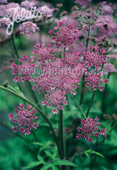 HERACLEUM sphondylium  'Pink Cloud' Portion(s)