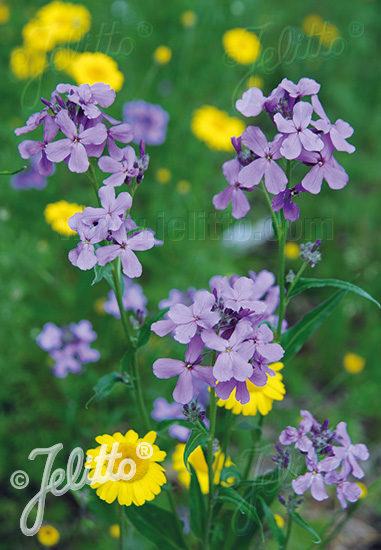 HESPERIS matronalis   Portion(s)