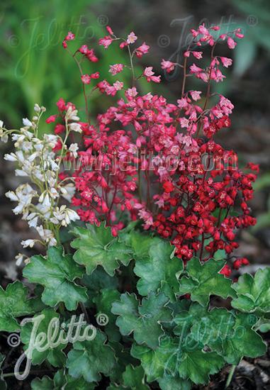 HEUCHERA sanguinea  'Bressingham Hybrids' Portion(s)