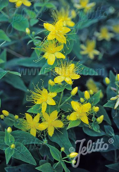 HYPERICUM hircinum   Portion(s)