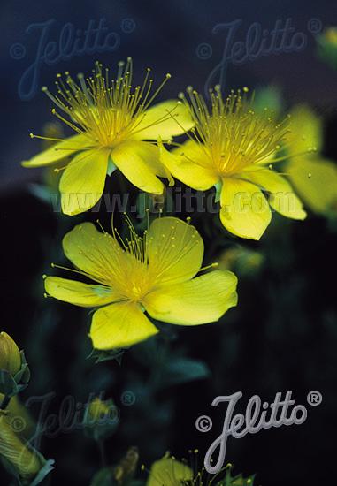 HYPERICUM polyphyllum  'Grandiflorum' Portion(s)
