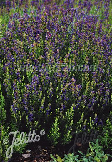 HYSSOPUS officinalis ssp. aristatus   Portion(en)