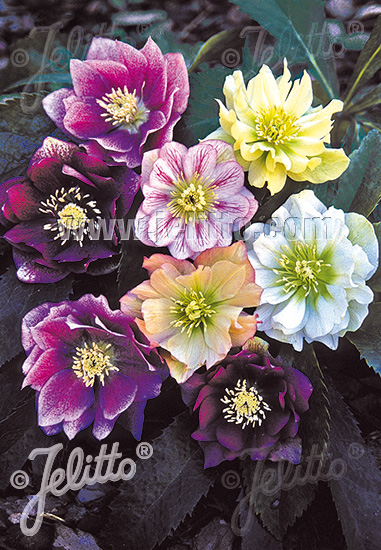 HELLEBORUS Orientalis-Hybr. Lady-Series 'Double Ladies Mixed' Portion(s)