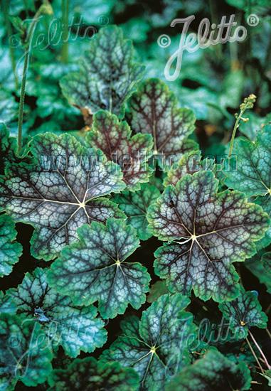 HEUCHERA americana  'Dale's Strain' Seeds