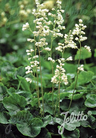HEUCHERA sanguinea  'White Cloud' Seeds