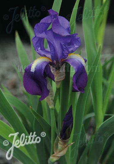 IRIS pallida ssp. illyrica   Portion(s)