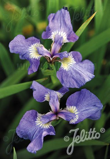 IRIS setosa ssp. canadensis   Portion(s)