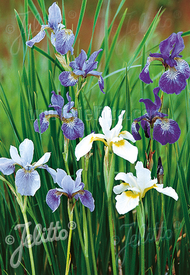 IRIS sibirica  'New Hybrids' Portion(s)
