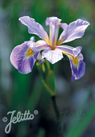 IRIS tenax   Portion(en)