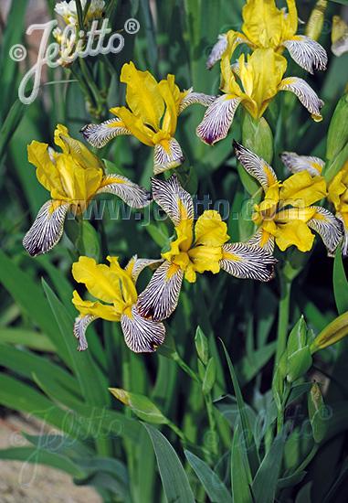 IRIS variegata   Portion(s)