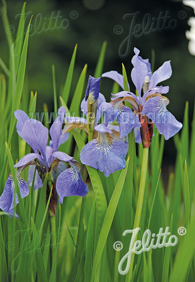 IRIS sibirica  Wildform Portion(en)