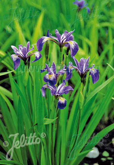 IRIS versicolor   Portion(s)
