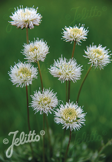 JASIONE montana f. alba  'White Delight' Portion(s)