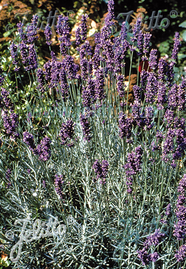 LAVANDULA angustifolia   Portion(en)