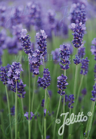 jelitto perennial seed lavandula angustifolia hidcote. Black Bedroom Furniture Sets. Home Design Ideas