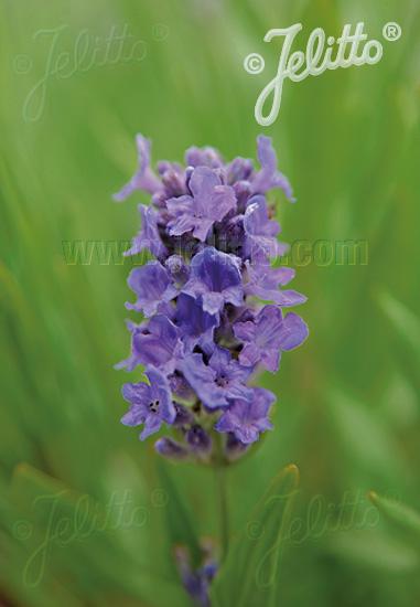 LAVANDULA angustifolia Ellagance-Series 'Ellagance Sky' Portion(s)