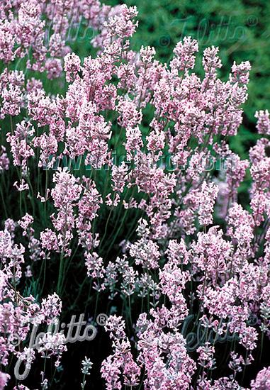 LAVANDULA angustifolia  'Rosea' Portion(s)