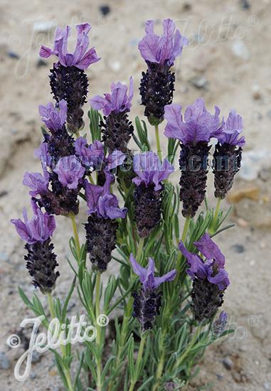 LAVANDULA stoechas  'Castilliano Violet'(TM) Portion(en)