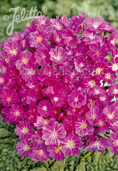 LEWISIA cotyledon  'Red-Purple' Portion(s)