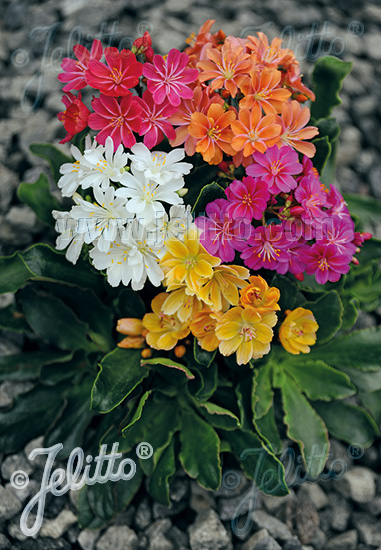 LEWISIA Cotyledon-Hybr.  'Sunset-Strain' Portion(s)