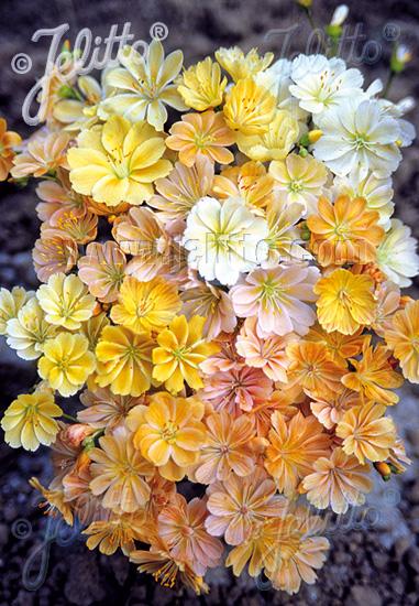 LEWISIA cotyledon  'Yellow' Portion(s)