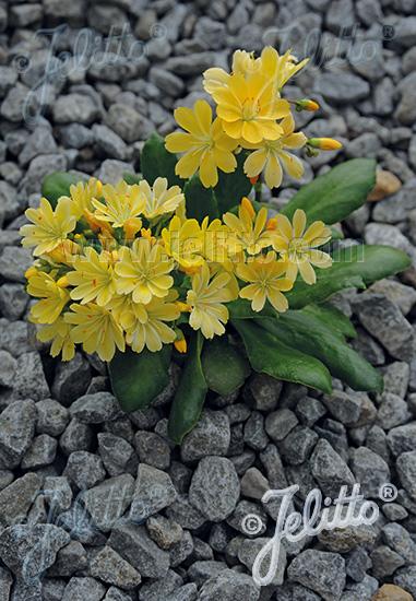 LEWISIA Cotyledon-Hybr.  'Elise Golden Yellow' Portion(s)