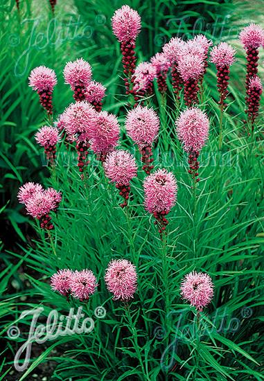 LIATRIS spicata  'Kobold Strain' Portion(s)