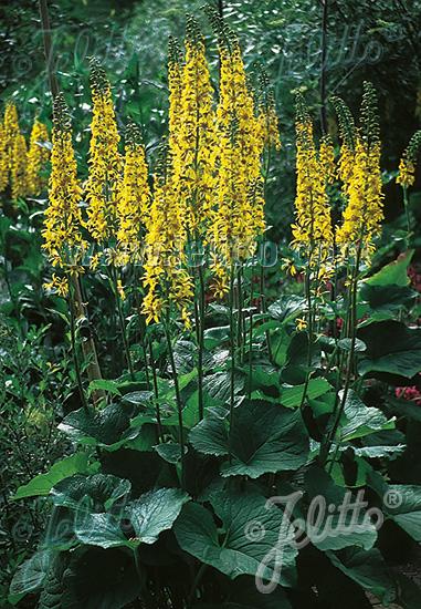 LIGULARIA sibirica   Portion(en)