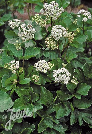 LIGUSTICUM scoticum   Portion(s)