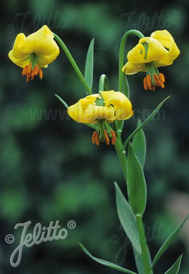 LILIUM pyrenaicum ssp. carniolicum var. bosniacum   Portion(s)