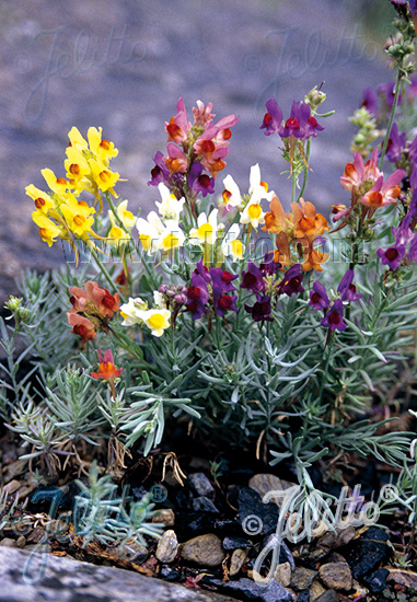 LINARIA aeruginea  'Neon Lights' Portion(s)