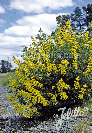 LUPINUS arboreus f. luteus  yellow Portion(s)