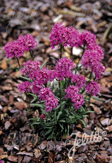 LYCHNIS alpina  'Lely Deep Rose'(TM) Portion(s)