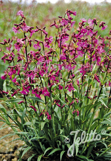 LYCHNIS viscaria ssp. atropurpurea   Portion(s)
