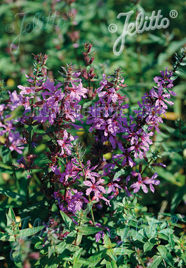 LYTHRUM salicaria   Portion(s)