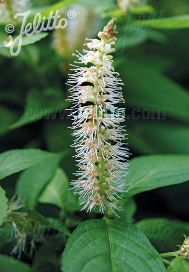 LEUCOSCEPTRUM japonicum f. aureum   Portion(s)