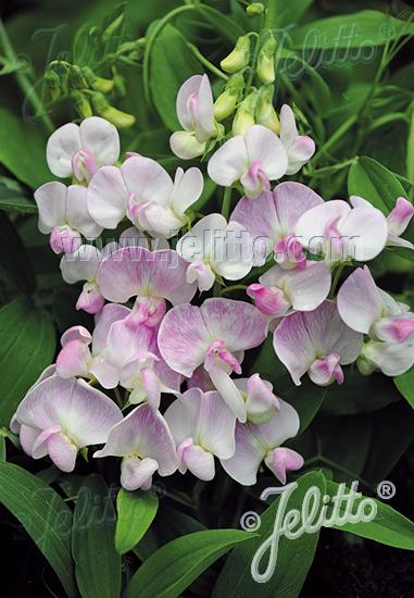 LATHYRUS latifolius  'Pink Pearl' Seeds