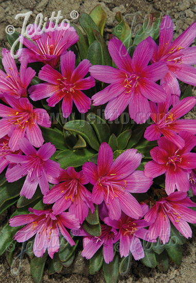 LEWISIA Longipetala-Hybr. Little-Series 'Little Raspberry' Seeds