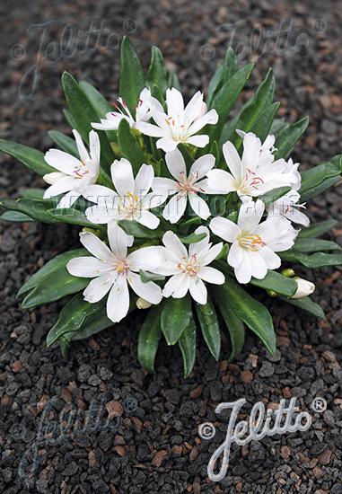 LEWISIA Longipetala-Hybr. Little-Serie 'Little Snowberry' Korn